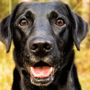 Black Labrador Dog Cushion