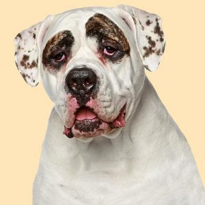 American Bulldog Cushion or Cushion Cover Dog Cream