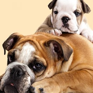 Adult English Bulldog and Puppy Cushion or Cushion Cover
