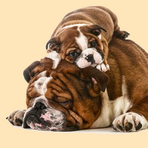 Adult English Bulldog and Puppy Cushion or Cushion Cover Taking a Nap