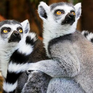 Ring-Tailed Lemurs Cushion or Cushion Cover Madagascar Wild Animal