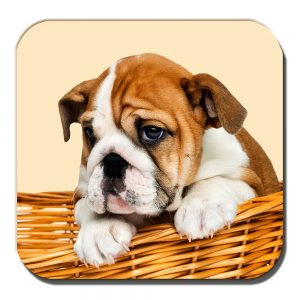 English Bulldog Puppy Coaster White Tan Pup Basket Cream