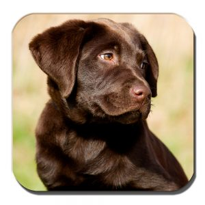 Chocolate Labrador Pup Coaster Young Puppy Dog Outdoors Acrylic