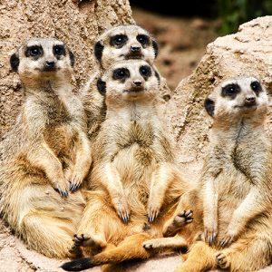 Meerkats Cushion or Cushion Cover Family Ceramic