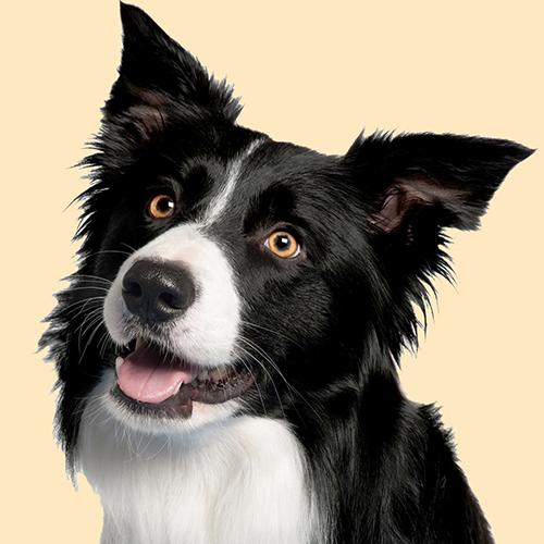 Border Collie Dog Cushion or Cushion Cover Cream Head Side