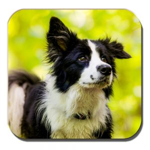 Border Collie Coaster Black White Sheepdog Cocked Ear