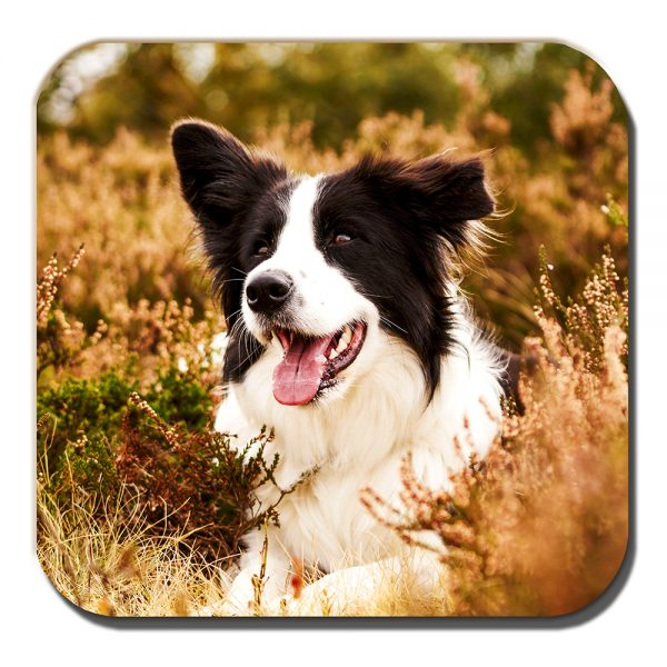 Border Collie Coaster Black White Sheepdog Heather Outdoors