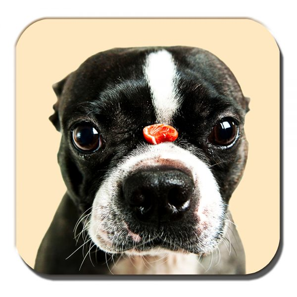 Boston Terrier Coaster Dog Treat Balancing Nose Acrylic Cream